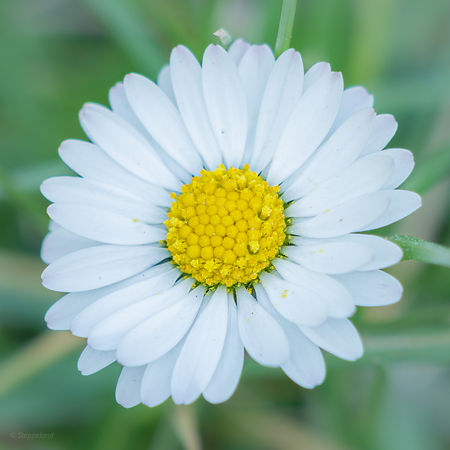 Centered daisy - poetic approach.