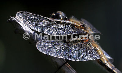 Wings of Four-Spotted Chaser (Four-Spotted Skimmer) dragonfly (Libellula quadrimaculata) caught by angled sunlight, Abernethy...