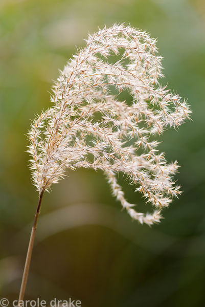 Miscanthus flower plumes in October