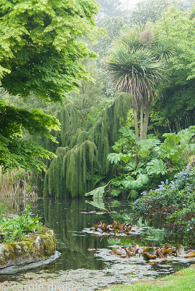 Planting beside pond includes gunnera and Ceanothus thyrsiflorus var repens below trees including cabbage palms, Cordyline au...