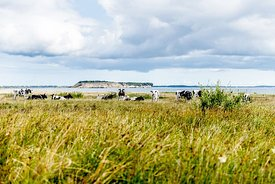 Mors landscape with cows, Denmark 2