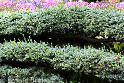 Espaliered cedar trained against a wall at York Gate Garden, Adel in July