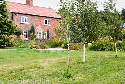 White stemmed birches, Betula utilis var. jacquemontii, in a farmhouse garden in rural Nottinghamshire in September