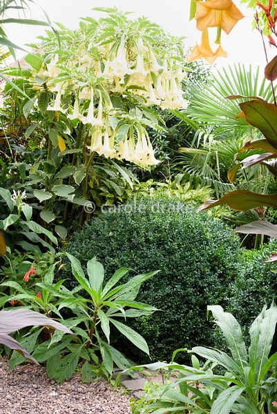 Orange and cream flowered brugmansias including variegated B. 'Maya' amongst plants including Echium pininana seedlings, clip...