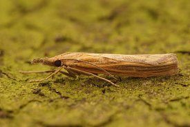 Closeup of the Common Grass-veneer moth, Agriphila tristella