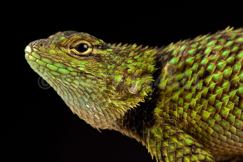 Mail-snouted Spiny Lizard (Sceloporus internasalis)