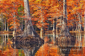 Bald cypress in autumn colors (lat. taxodium distichum) - North America, USA, Louisiana, Caddo, Caddo Lake, Trees, Stacy Land...