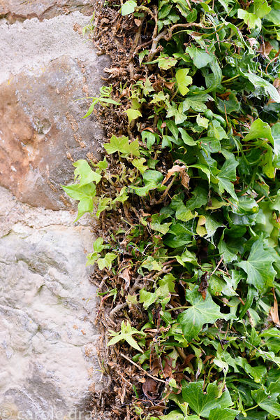 Ivy climbing a wall is clipped neatly and sheared to create a dense mat at Broadwoodside, Gifford, East Lothian