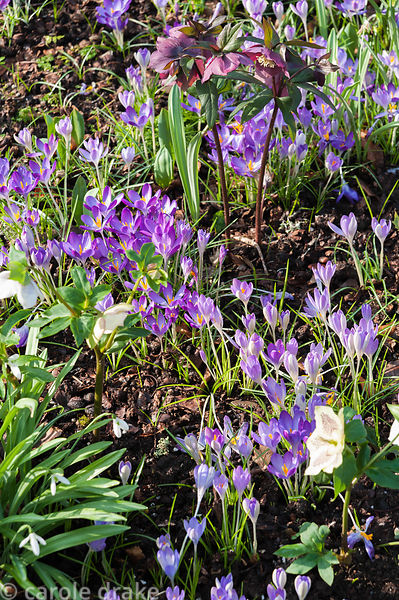Naturalized Crocus tommasinianus growing amongst hellebores in the woodland garden. Bosvigo, Truro, Cornwall, UK