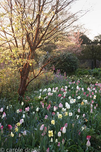 Peeling, papery bark of Acer griseum catches the dawn sunlight above a border of mixed tulips and narcissi including Tulipa '...