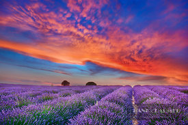 Lavender field and burning clouds (lat. lavandula) - Europe, France, Provence-Alpes-Cote d'Azur, Alpes de Haute Provence, For...