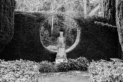 Statue of oriental priest is framed by a circular window cut into a yew hedge that supports a honeysuckle, with Viburnum tinu...