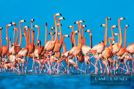 American flamingo Display behaviour (lat. phoenicopterus ruber) - North America, Mexico, Yucatan, Rio Lagartos - scan