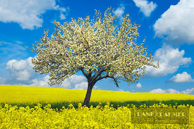 Rape field and blloming apple tree (lat. brassica napus) - Europe, Germany, Saxony, Saxon Switzerland-East Ore Mountains, Neu...