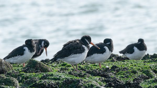 Oystercatchers on the rocks