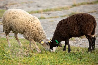 Young INRA 401 ram (left) and sheep (right) grazzing
