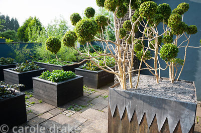 Steel planter with lead decoration contains cloud pruned box against grey painted walls with raised beds beyond planted with ...