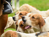Cottesmore hounds - The Cottesmore Hunt at Toft