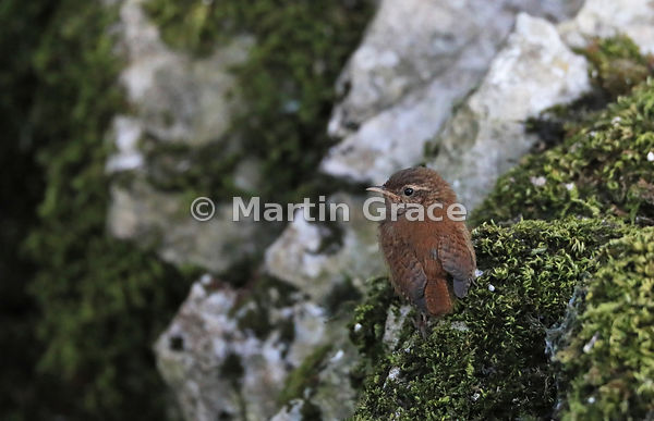 Eurasian (Winter) Wren (Troglodytes troglodytes) on an old moss-covered limestone wall, Lake District National Park, Cumbria,...