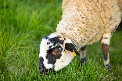 Young ripollesa sheep breed female grazzing on green grass