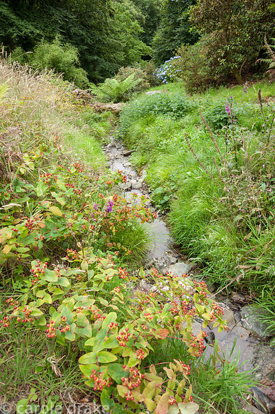 Hypericum lines the stream that runs through the garden. Coleton Fishacre, Kingswear, Devon, UK