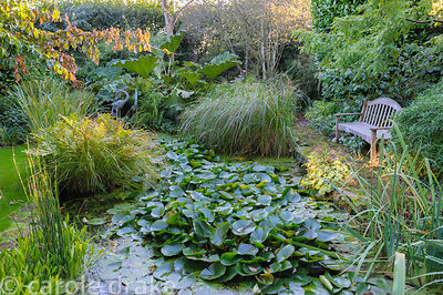 Garden pond full of water lilies surrounded by lush foliage including horsetail, Equisetum hyemale, grasses, ferns and Gunner...