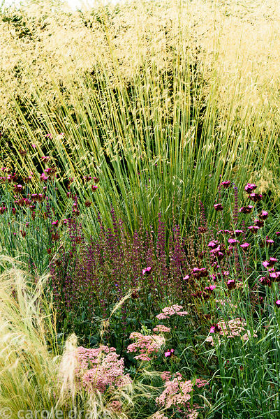 Dianthus carthusianorum with achillea, salvias, Stipa tenuissima and S. gigantea at Dove Cottage Nursery & Garden, Halifax, W...