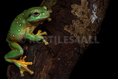 Magnificent tree frog (Litoria splendida)