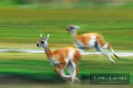 Guanaco fawn playing chasing (lat. lama guanacoe) - South America, Chile, Magallanes, Torres del Paine, Lago Sarmiento, south...