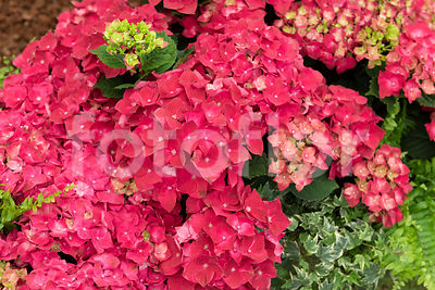 Hydrangea macrophylla 'Hot Red', hortensia, rouge