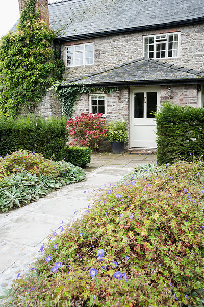 Path to the front door runs between Geranium Rozanne = 'Gerwat' and stachys with pots of sarcococca and hydrangea beside the ...
