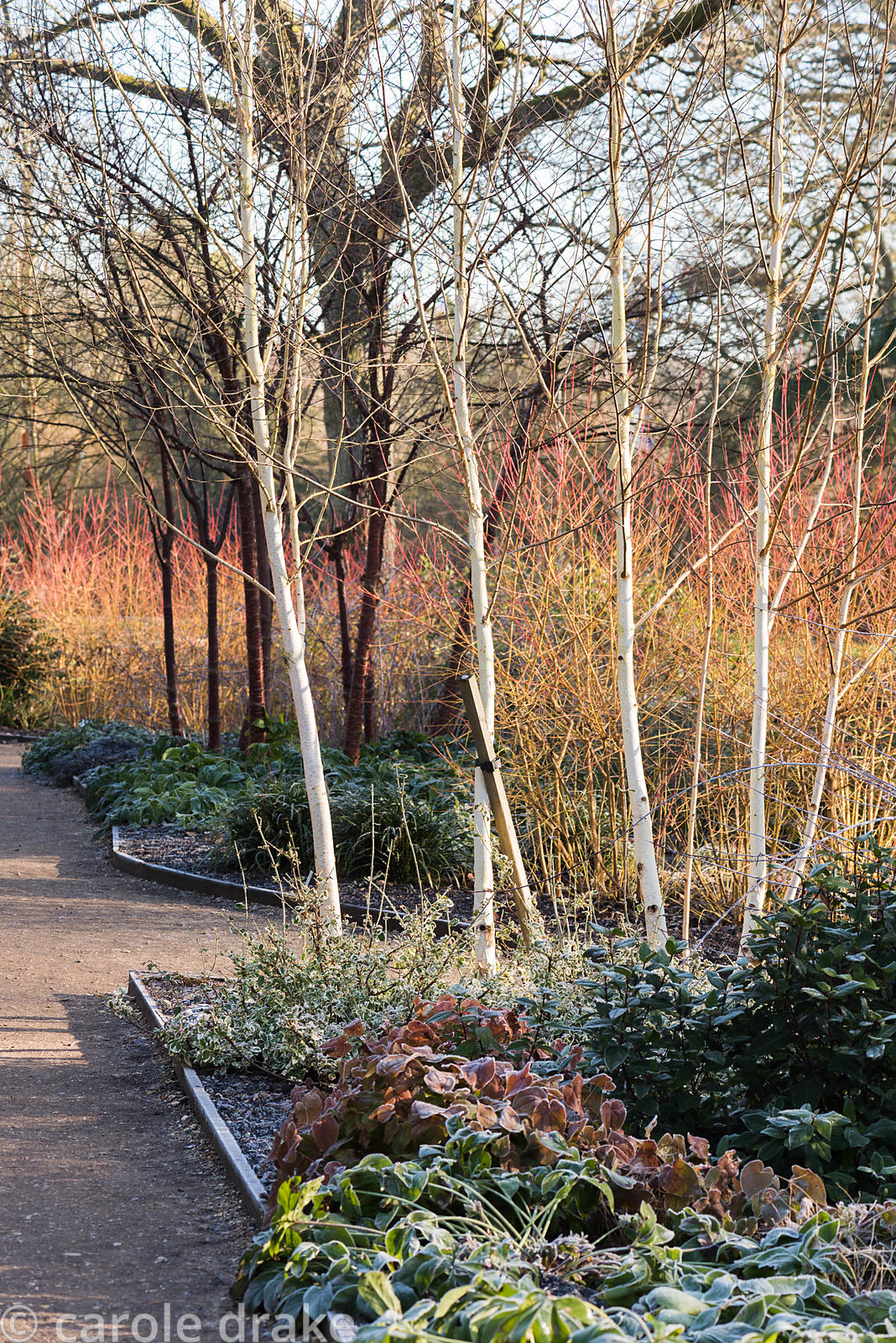 Multi-stemmed birch with evergreen ground cover, hellebores and epimedium in the Winter Garden at Mottisfont in January