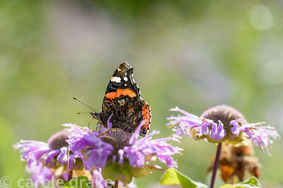 Red Admiral butterfly, Vanessa atalanta, on Monarda fistulosa at Cambo Gardens, Fife, Scotland in September