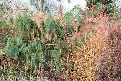 Pinus patula with Cornus sanguinea 'Midwinter Fire' at Ellicar Gardens, Notts in winter
