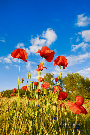 Corn poppy in barley field (lat. papaver rhoeas) - Europe, Germany, Mecklenburg-Vorpommern, Mecklenburg Lake District, Woldeg...