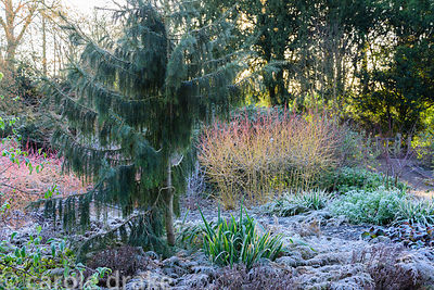 Elegant Picea breweriana surrounded by frosted Microbioa decussata and colourful dogwoods in the Winter Garden at Mottisfont