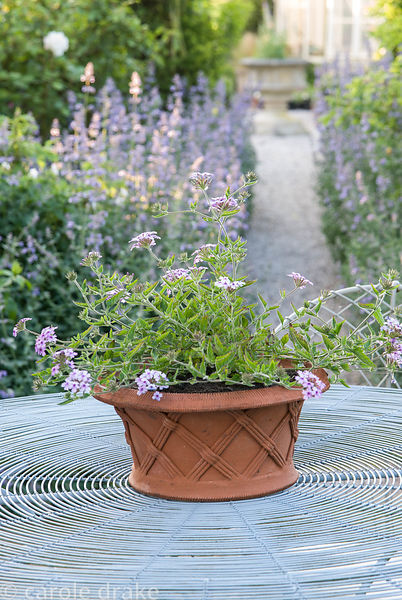 Terracotta pot planted with verbena sits on a wirework table. Old Rectory, Kingston, Isle of Wight, Hants, UK