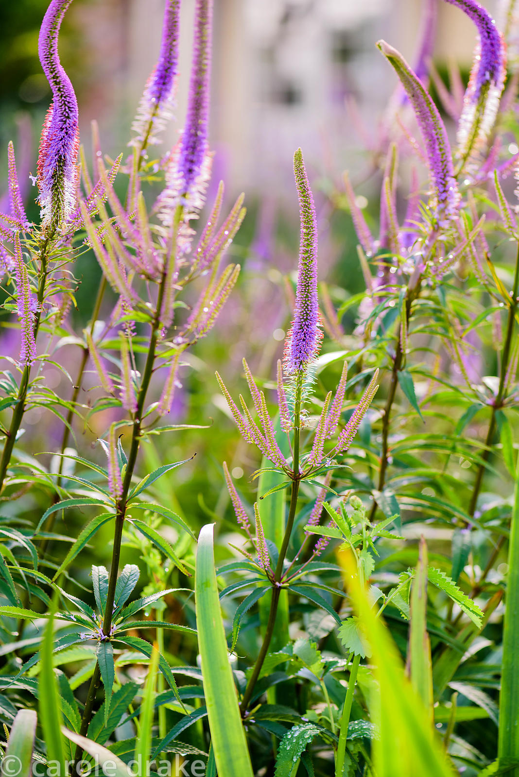 Veronicastrum virginicum 'Fascination'. The Yeo Valley Organic Garden, Blagdon, Somerset
