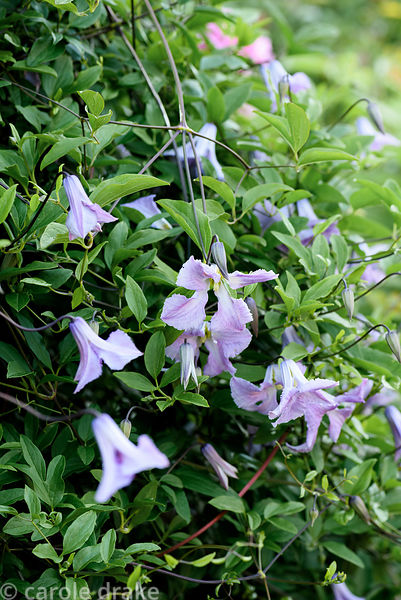 Clematis 'Betty Corning'. Malthouse Farm, Hassocks, Sussex