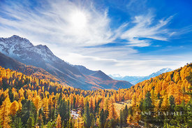 Larch forest in Val da Camp (lat. larix decidua) - Europe, Switzerland, Graubünden, Puschlav, Val di Campio (Alps, Livigno Al...