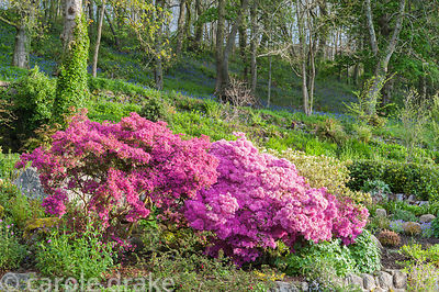 View from steps that lead up to the first floor of the house over the bank behind the house planted with vivid azaleas and ot...