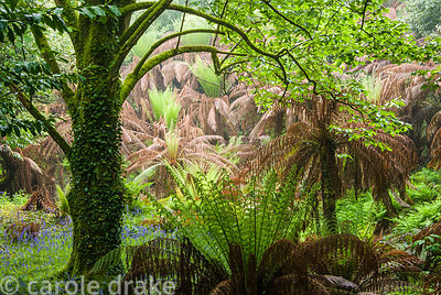 The tree fern dell, formed by early open cast tin mining on the site. Most of the trees are over 100 years old. Trewidden, Bu...