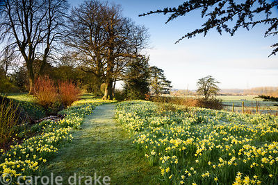 A path through naturalised daffodils in the Wild Garden at Doddington Hall, Lincolnshire in March