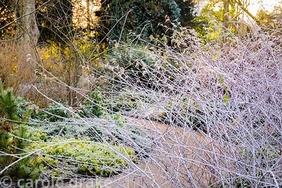 Mesh of bare white stems of Rubus thibetanus in the Winter Garden at Mottisfont on a January morning