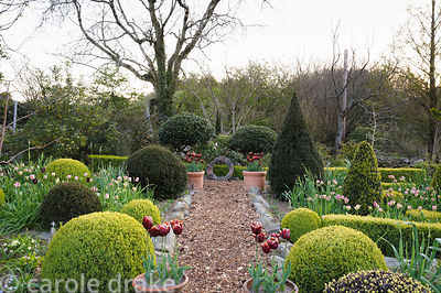 Clipped yew, holly and box in the Rickyard Garden with pots of Tulip 'Abu Hassan'.