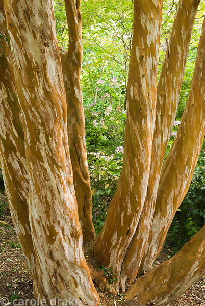 Mottled, cinnamon coloured bark of Luma apiculata. Abbotsbury Subtropical Gardens, Abbotsbury, nr Weymouth, Dorset, UK