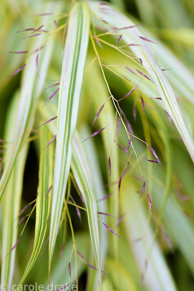 Hakonechloa macra 'Aureola' in October