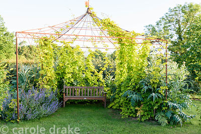Metal arbour with wooden bench, in the form of a tent with golden hop, Humulus lupulus 'Aureus', artichokes and catmint at Ma...