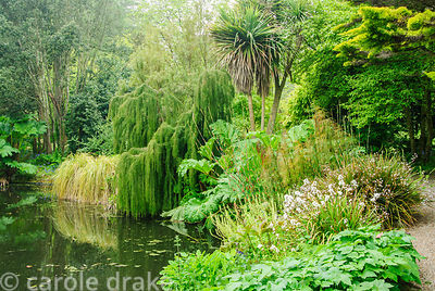 Pond surrounded by Gunnera manicata, restios, cabbage palms, Cordyline australis, white flowered libertias and weeping Lagaro...