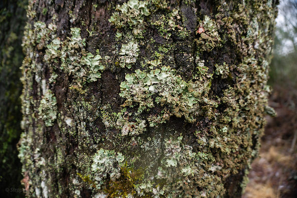 Tree trunk covered with lychen